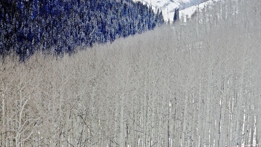 down the valley… Aspens Beauty In Nature Day Growth Nature No People Outdoors Scenics Silver Trees Tranquility Tree Vail  Vail Colorado Vail,co Winter Winter Landscape Winter Trees Winter_collection Winterwonderland