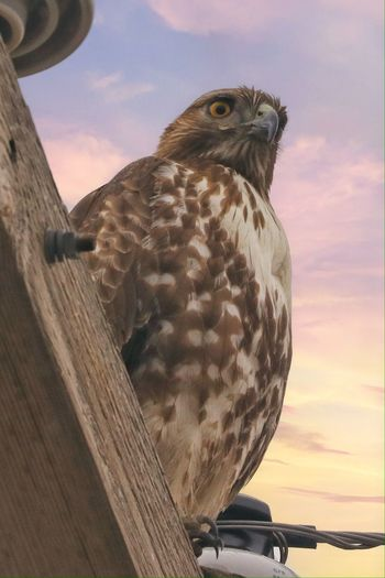 Close-up of hawk perching on wood against sky
