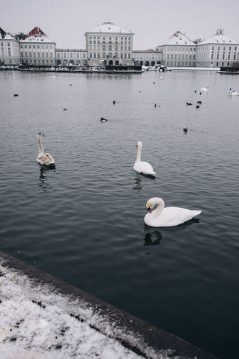 Swans in front