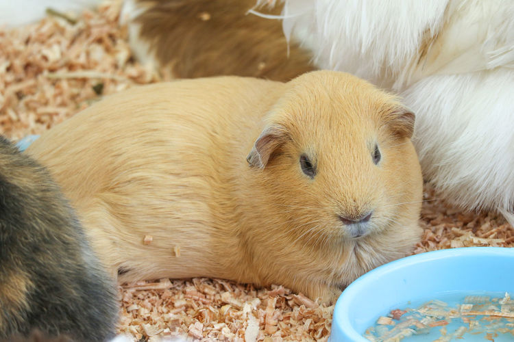 Guinea Pig Adorable Animal Baby Background Brown Cage Cavia Close Color Cute Day Domestic Environment Eye Face Fat Feeding  Fluffy Fur Guinea Happy Hungry Life Little Looking Lovely Mammal Natural Nature Nobody Nose One Outdoor Park Pet Place Porcellus Rodent Season  Small Space Sunny Organicview Wild Wildlife Young Zoo