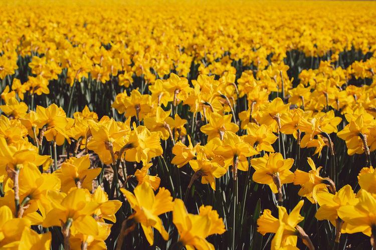 Full frame shot of yellow flowering field