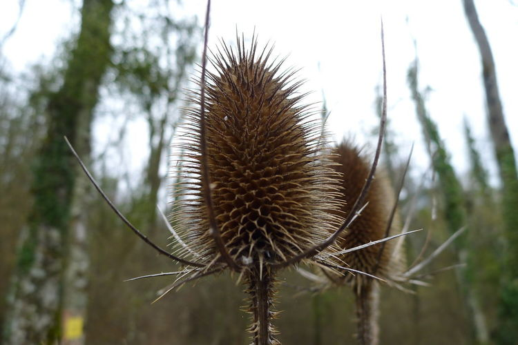 Close-up of dried thistle flower