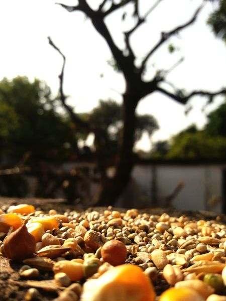 Tree Close-up Outdoors Day Freshness Large Group Of Objects Dried Fruit Corns Birdfood Backyard Backyard Beauty Backyard Shots Backyardphotography :))✌️✌️😎✌️✌️ BYOPaper! EyeEmNewHere Perspectives On Nature
