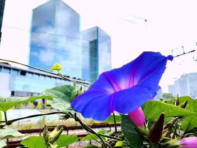 Flower Beauty In Nature Iphoneonly IPhoneography Iphone7 Ryukyu Morning Glory City Of Flower Morning Glory Blue Flowers No People Close-up Freshness City Osaka,Japan