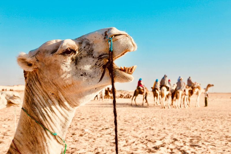 Close-up of camel on land against clear sky