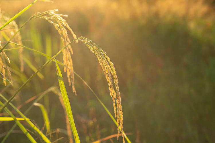 Rice field Growth Plant Agriculture Nature Field Crop  Beauty In Nature No People Close-up Day Outdoors Farm Sunlight Plantation Cereal Plant Rice Rice Field Agriculture Rural Scene ASIA Thailand Sunlight Landscape Rice Growth Rice Paddy