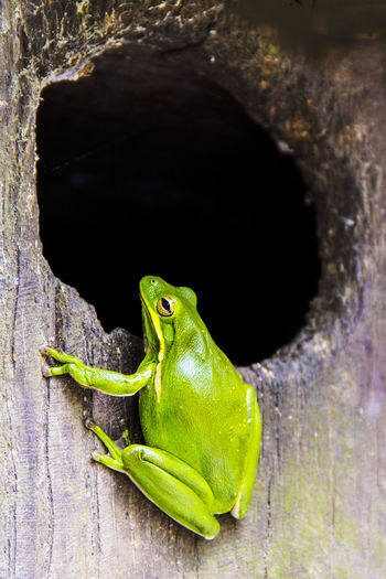 tree frog on a Wood Duck nest box in South Carolina Animal Themes Animal Wildlife Animals In The Wild Close-up Day Gecko Green Color Nature No People One Animal Outdoors Reptile Tree Frog Tree Frog On Box