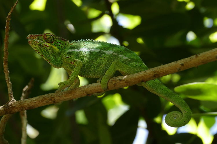 Animal Themes Animal Wildlife Animals In The Wild Branch Chameleon Close-up Day Focus On Foreground Green Color Lizard Nature No People One Animal Outdoors Reptile Tree
