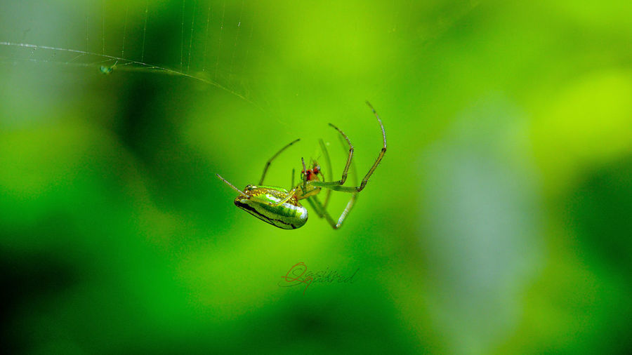 Spider Arachnid Arthropod Close-up Green Color Insect Nature Outdoors Spider Spider Web