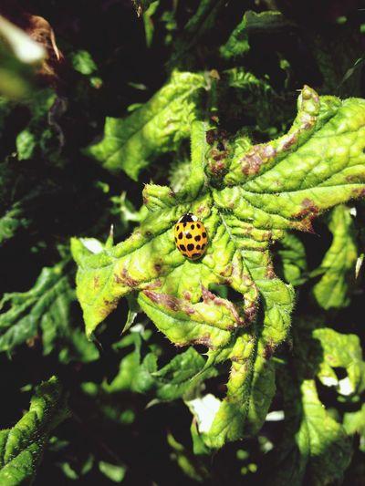 Nature Photography Coccinella Enjoying Nature