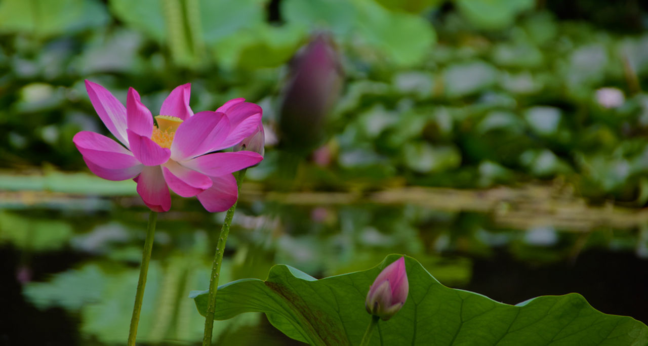 flower, petal, fragility, growth, nature, beauty in nature, pink color, freshness, plant, flower head, blooming, leaf, outdoors, green color, focus on foreground, tulip, lotus water lily, day, no people, close-up