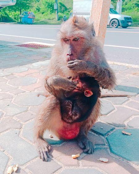 Hungry Family Monkey Monkeys Men Sand Close-up