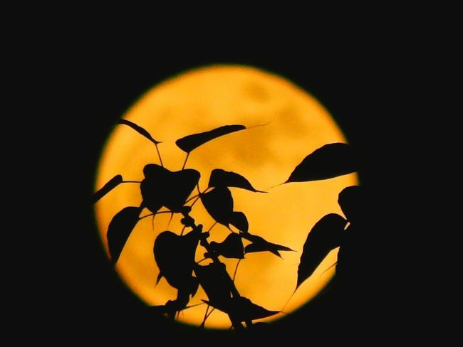 Silhouette Shadow No People Flower Nature Beautifully Organized Supermoon Midnight Beauty In Nature Sky Astronomy Nature Full Moon Clear Sky Enjoy The New Normal