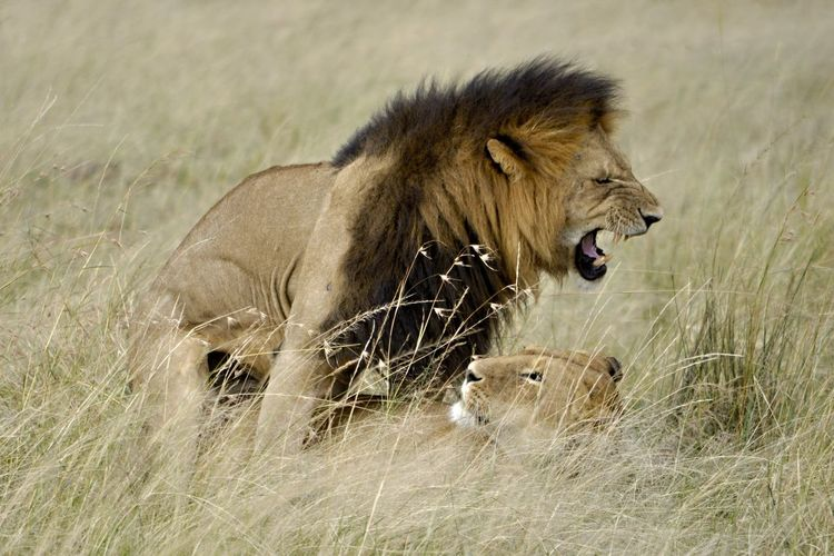 Side view of lion and lioness