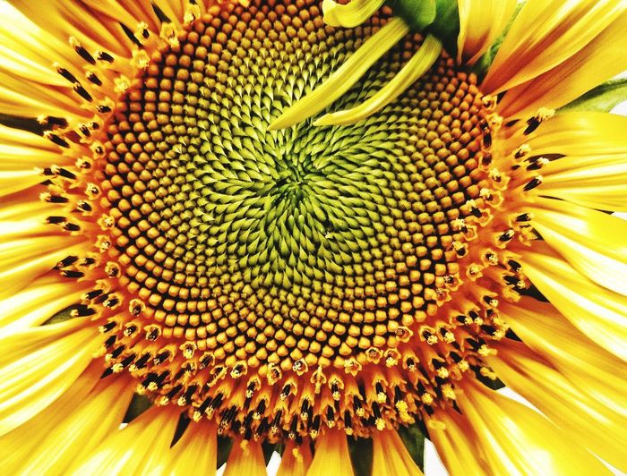 Full frame shot of sunflower