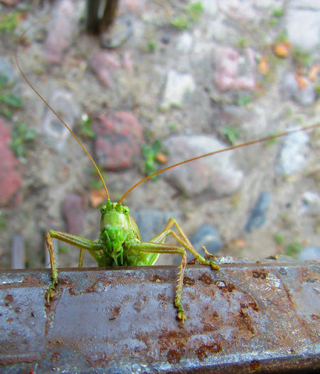 Tettigonia viridissima Animal Animal Antenna Animal Body Part Animal Themes Animal Wildlife Animals In The Wild Close-up Day Focus On Foreground Grasshopper Green Color Insect Invertebrate Nature No People One Animal Outdoors Praying Mantis Solid Wall - Building Feature
