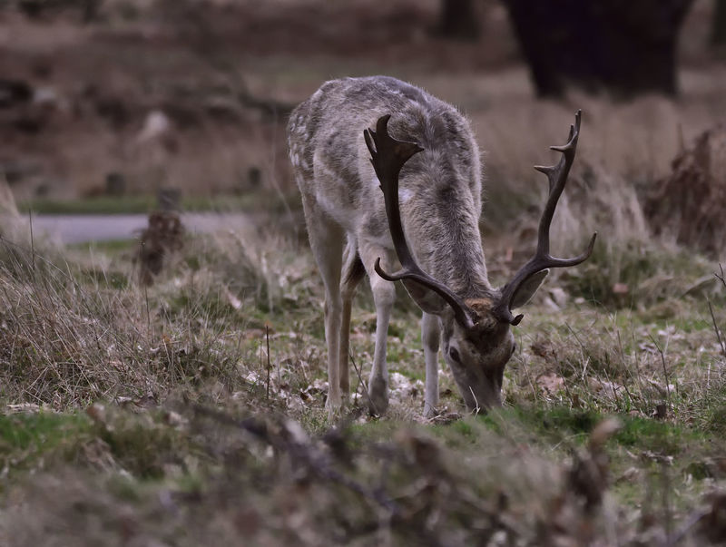 Roaming carefree in Richmond Park. Adapted To The City Animal Themes Animals In The Wild Antler Beauty In Nature Capreolus Capreolus Deer Handsome Male Mammal Mammals Nature Nature Nature Photography Nature_collection Naturelovers One Animal Outdoors Roe Deer Roebuck Wild Wildlife Wildlife & Nature Wildlife Photography