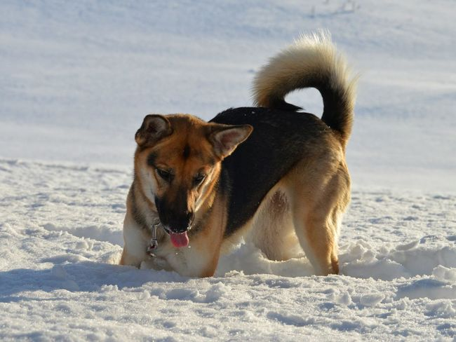 One Animal Snow Animal Nature No People Cold Temperature Outdoors Pets Dog German Shepherd Mixed Breed Tongue Tounge Out  Excitement Playing
