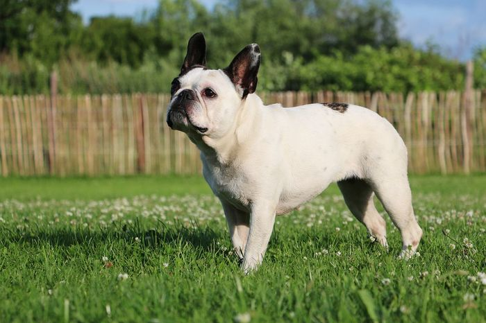 french bulldog is standing in the garden Bulldog Animal Themes Clover Field Day Dog Domestic Animals Field Französische Bulldogge  French Buldog French Bulldog Garden Grass Green Color Looking Up Mammal Nature No People One Animal Outdoors Park Pets Sky Summer Tree