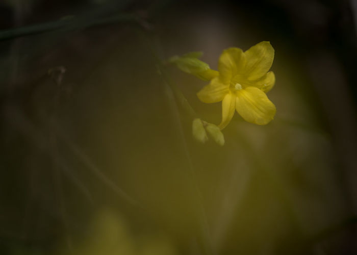 Flowering Plant Plant Flower Vulnerability  Fragility Beauty In Nature Freshness Close-up Petal Growth Nature Yellow Inflorescence Flower Head No People Selective Focus Outdoors Day Focus On Foreground Winter Jasmine Jasmine Jasmine Flowers Winter Winter Flowers Yellow Flower