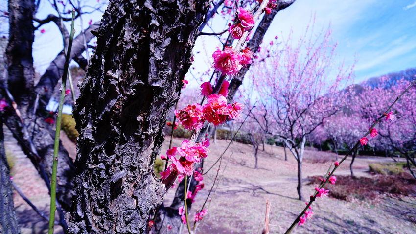 Ume Sky イマソラ 梅 Flower