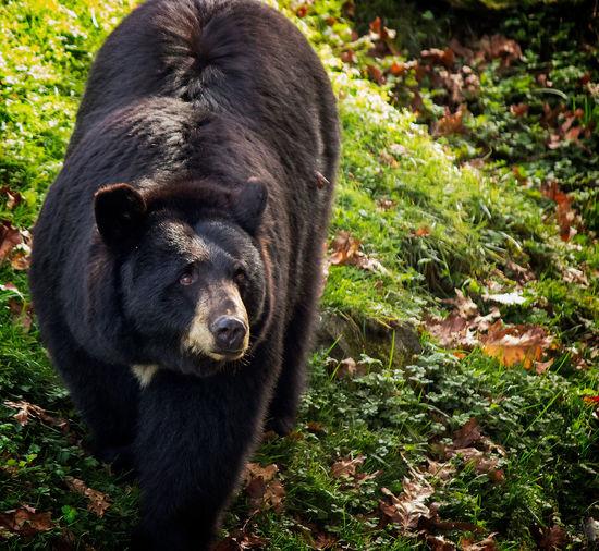 Black Bear Animal Themes Animal Wildlife Black Bear Black Color Day Grass Mammal Nature No People One Animal Outdoors