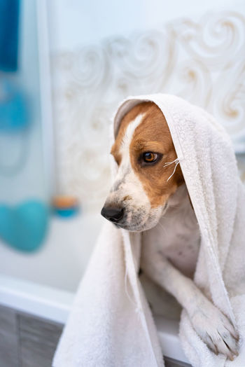 Dog wrapped in towel in bathtub
