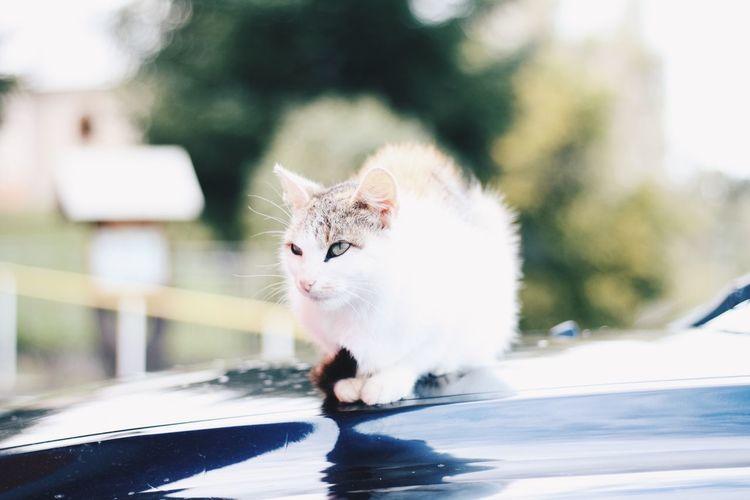 Cat sitting on a car
