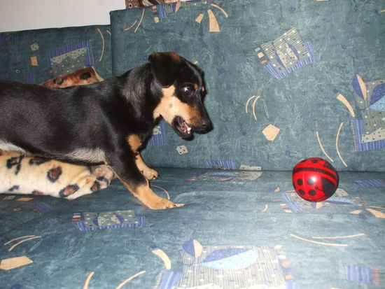Ball Dachshund Dog Ladybug Mazsi No People Pet Pets Puppy Red Ball