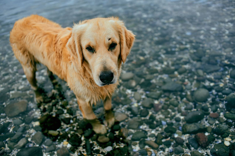 High Angle View Of Golden Retriever Standing In Shallow Water