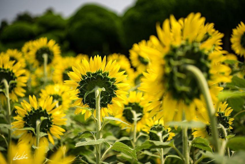 頼もしさ D750 Fukuokadeeps のこのしまアイランドパーク 能古島 Island Lightroom Edit 花 Flower Flower Head Flowerporn Summer Sunflower 向日葵 Day ひまわり Yellow Outdoors No People