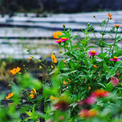 コスモス Japan Flower