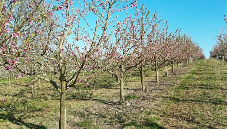 Growth Nature Outdoors Fruit Blossom Fruit Trees Fruittrees In A Row Agriculture Monoculture Spring Springtime Rural Scene Pesticides Pesticides Kill Bees Trees In A Row Beekeeping No People Plantation Freshness Beauty In Nature Grass Sky