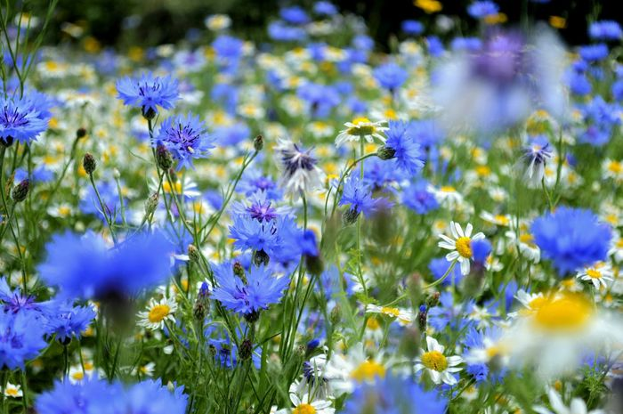 Blue Gloucestershire On The Verge Summetime Natural Beauty Wild Flowers My Gloucestershire Rhapsody In Blue Blue Wave