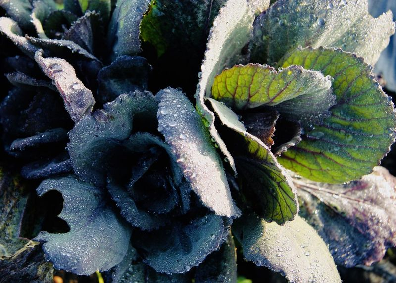icy cabbage close up Natural Pattern Red Cabbage Winter Cabbage Close-up Cruciferous Eat Food Freshness Green Color Growth Harvest Healthy Eating Icy Leaf Nature Outdoors Vegetable Food Stories