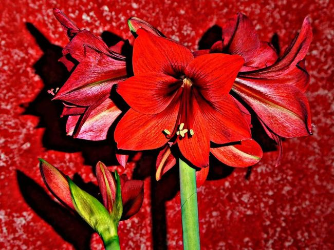 shadow&light Expression Artistique Nightshot🌙 Flower Head Red Amaryllis Redpaintedwall Amaryllis For My Friends😚 My Artistic Expression Flower Red Flower Head Petal Plant Beauty In Nature Close-up