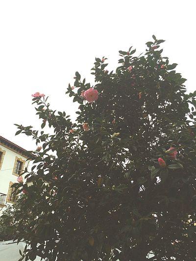the roses of placa unamuno Roses Bilbao SPAIN Placa Unamumo Casco Viejo First Eyeem Photo