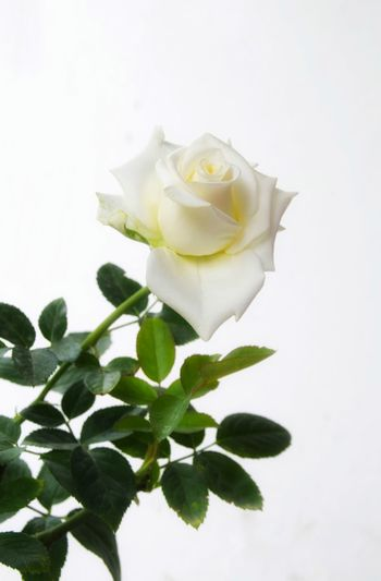 Close-up of rose plant against white background