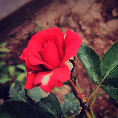 Travel Ontheroad Rosé Red Redrose  Beautiful Takeapicture Loveit Coimbatore Flower Flowers