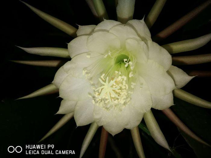 Königin der Nacht Beauty In Nature