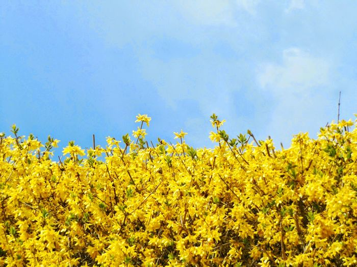 Mellow and Yellow. Abundance Beauty In Nature Blooming Blossom Blue Cloud Day Field Flower Freshness Green Color Growth In Bloom Low Angle View Nature Outdoors Plant Rural Scene Scenics Serres De Laeken (Brussels). Sky The Great Outdoors - 2016 EyeEm Awards Tranquil Scene Tranquility Yellow