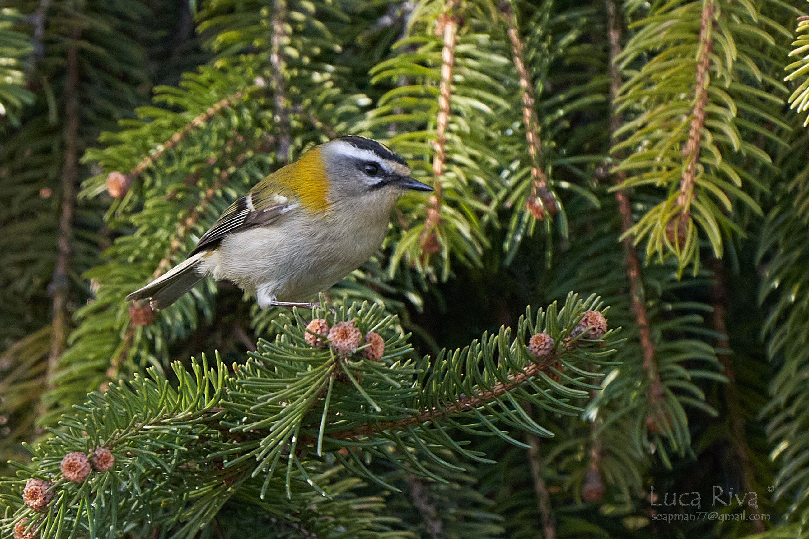 tree, animal themes, animal, animal wildlife, bird, plant, branch, christmas tree, wildlife, one animal, pine tree, coniferous tree, pinaceae, nature, perching, spruce, no people, green, focus on foreground, beauty in nature, outdoors, day, leaf, close-up