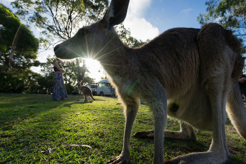 A kangaroo is framed by the setting sun Animal Animal Themes Australia Cloud Day Field Full Length Grass Joey Kangaroo Lens Flare Livestock Mammal Marsupial One Animal Outdoors Pets Sky Sunbeam Sunlight Zoology