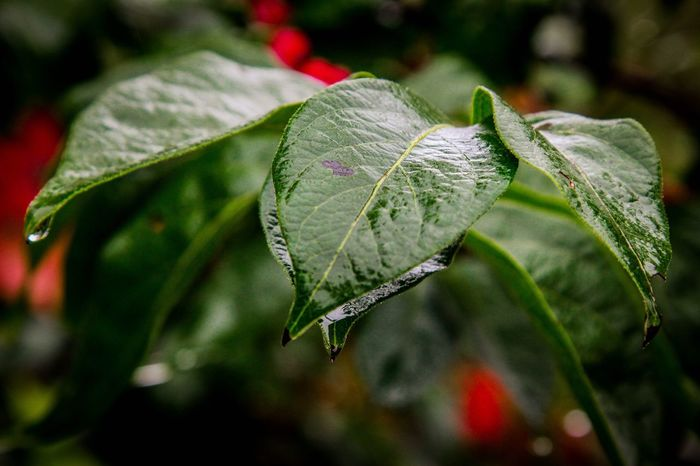 Leaf Close-up Green Color Growth Leaf Vein Leaves Plant Focus On Foreground Selective Focus Nature Botany Day Beauty In Nature Freshness Outdoors Tranquility Fragility Green Springtime Plant Life