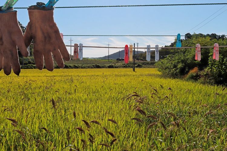 Plant Nature Day Sky Grass Field Green Color Sunlight Agriculture Drying No People Hanging Land Outdoors Food And Drink Growth Freshness Clothesline Landscape