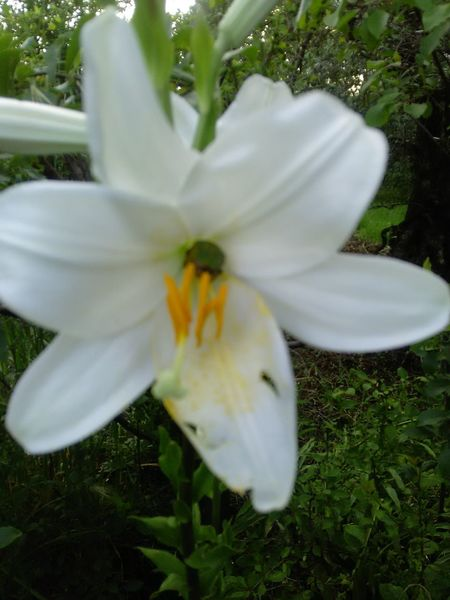 my garden 🌸 Flower Head Flower Day Lily Petal Close-up Grass Plant