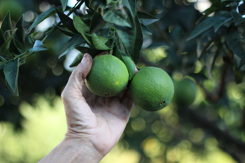 Citrus Fruit Close-up Day Focus On Foreground Food Food And Drink Freshness Fruit Green Color Growth Healthy Eating Holding Human Body Part Human Hand Leaf Nature One Person Outdoors People Real People Tree