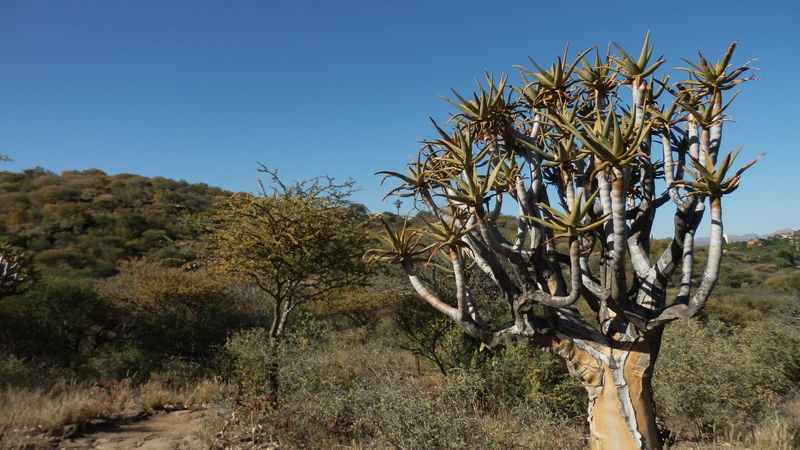 Namibia Beauty In Nature Clear Sky Growth Nature Outdoors Quivertree  Tree