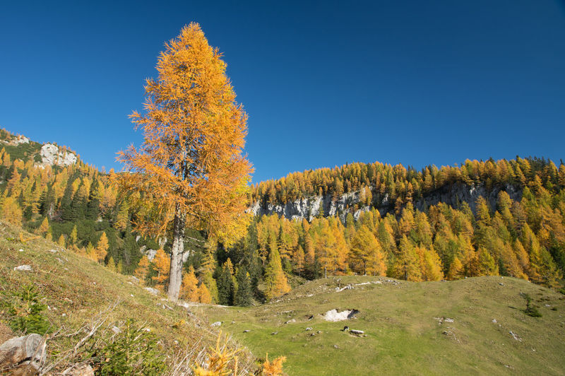 Autumn in Julian Alps in Slovenia Tree Autumn Plant Scenics - Nature No People Nature Landscape Beauty In Nature Land Sky Environment Day Forest Change Tranquil Scene Tranquility Blue Non-urban Scene Clear Sky Outdoors Pine Tree WoodLand Coniferous Tree Pine Woodland
