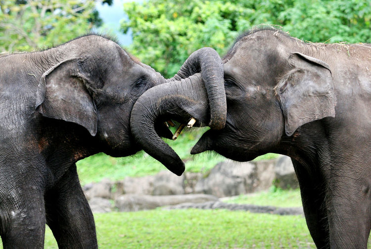 Elephants African Elephant Animal Animal Themes Animal Trunk Animals In The Wild Day Elephant Fighting Grass Indian Elephant Kiss Mammal Nature No People Outdoors Play Togetherness Young Animal